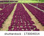 hydroponics vegetable  the... | Shutterstock . vector #173004014