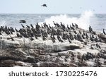 A Colony Of Large Cormorants On ...