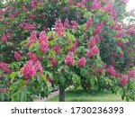 Aesculus   Carnea  Or Red Horse ...