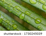 Water Droplets On Lush Green...