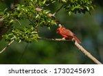 Male Cardinal Hiding Under The...