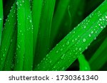 Raindrops On Green Long Leaves