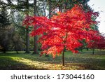 Autumn Tree With Red Leaves In...