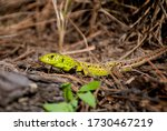 Spotted lizard outdoor. Close up portrait of European green lizard. Lacerta viridis. Macro photo of crawling reptile daytime. Wild animal. Wildlife nature. Green skin with yellow and brown spots. - stock photo