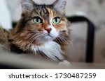 Domestic Long Hair Cat. A...