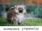 Pomeranian Baby Posing Outside...