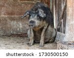 Dirty Pig Or Mangalica Breed In ...