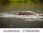 Hippopotamus Sleeping In Mudd...