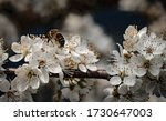 Blossoms  Spring  Insect   A...