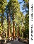 Mariposa Grove, California, USA - October 28, 2019: Giant sequoia trees in Mariposa Grove, Yosemite National Park - stock photo