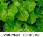Light Green Boston Ivy Waxy...