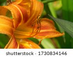 Picture Of A Orange Daylily ...