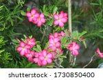 Beautiful Calachuchi Flowers In ...