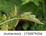 Spider mite infestation on a...