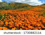 Vibrant Orange California Poppy ...