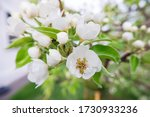 Large White Flowers Bloom On ...