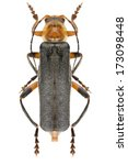 Small photo of Cantharis livida Linnaeus, 1758 - Cantharidae