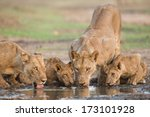 Lion  Panthera Leo  And Cubs...