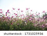 View Of A Field Of Pink Cosmos...