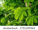 Horse Chestnut Tree  Aesculus...