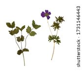 dry pressed wild plants... | Shutterstock . vector #1731146443