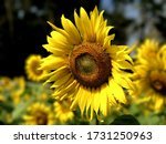 Beautiful Blooming Yellow...
