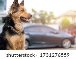 Small photo of close up picture of guard dog sitting in front of house with blurred car and garden background, Thai dog, Watchdog concept
