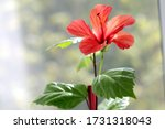 Red Hawaiian Hibiscus Flower O...