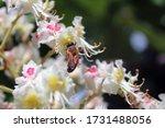 Honey Bee Pollinates A...