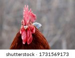 Rooster Close Up  Poultry Farm...