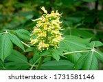 Flower Panicle Of  Ohio Buckeye ...