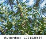 Acacia Melanoxylon Or Acacia...