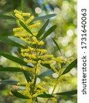 Acacia Longifolia Or Mimosa ...