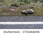 """Small photo of TASMANIA - MAR 23 2019:Roadkill wombat.Tasmania has long held the unenviable title of """"the roadkill capital of Australia"""", with an estimated 500,000 native animals dying on the states roads every year"""