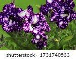 Purple Petunia   Surfinia...