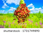 Small photo of Summer meadow bunch of ripe berries. Bunch of ripe berries in summer. Summer bunch of ripe berries view