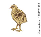 hand drawn baby quail. poultry. ... | Shutterstock .eps vector #1731781123