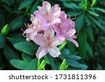 Soft Pink Rhododendron Flowers  ...