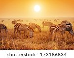 Zebras Herd On Savanna At...