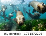 Southern Sea Lions In Shallow...