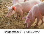 young pigs on the farm  open... | Shutterstock . vector #173189990