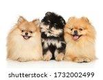 Family Of Pomeranian Spitz...