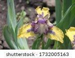 Little Irises In Flower  Dwarf...