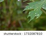 Raindrops On The Papaya Leaves
