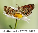 Two Butterflies Melitaea Sits...
