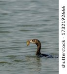Indian Cormorant Bird With Fis...