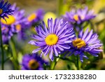 Close Up Of A Beautiful Aster...