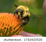 Common Eastern Bumble Bee...