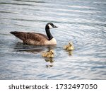 Goose Swimming Behind Its 2...