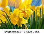Beautiful Yellow Daffodils....